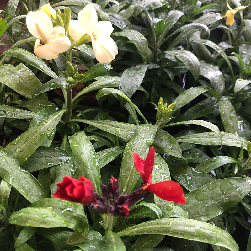 Picture of Wallflowers (Winter Bedding)