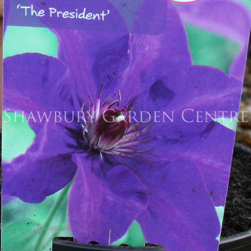 Picture of Clematis 'The President'