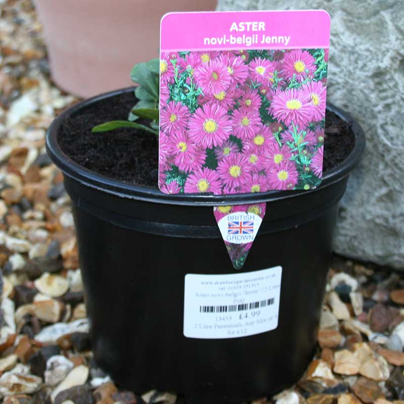 Picture of Aster novi-belgii 'Jenny'