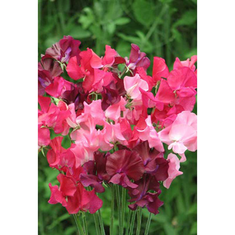 Picture of Unwins SWEET PEA 'Berry Kiss' Seeds