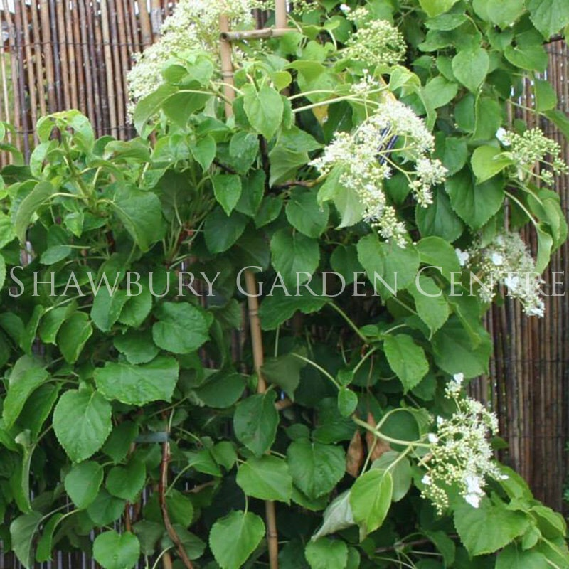 hydrangea petiolaris 39 climbing hydrangea 39. Black Bedroom Furniture Sets. Home Design Ideas
