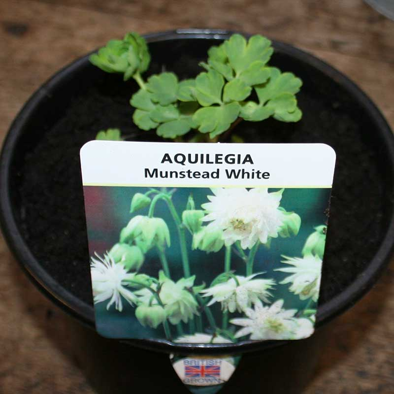 Picture of Aquilegia 'Munstead White'