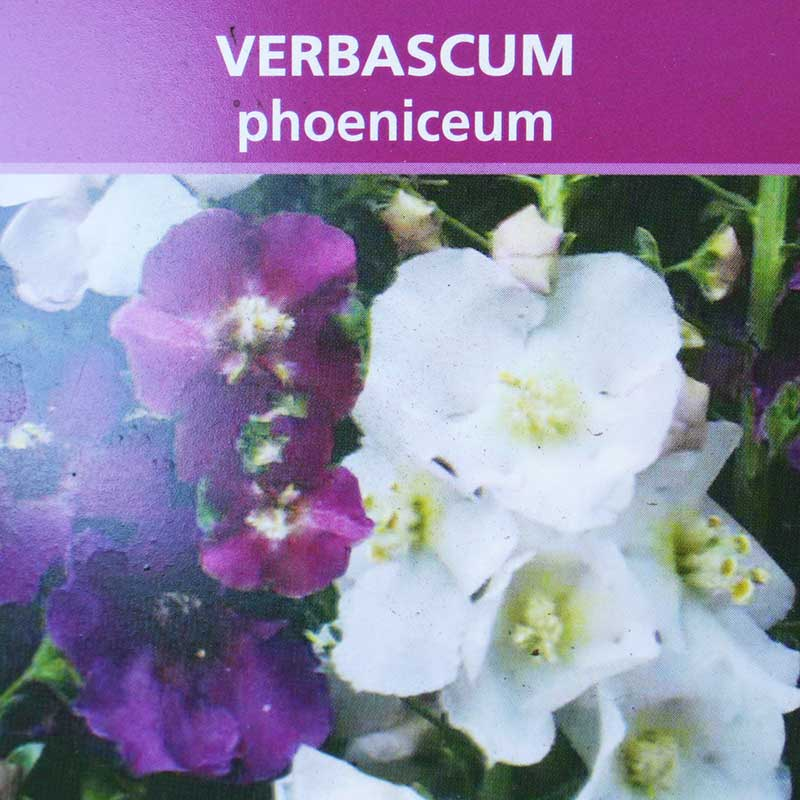 Picture of Verbascum phoeniceum Purple Mullein
