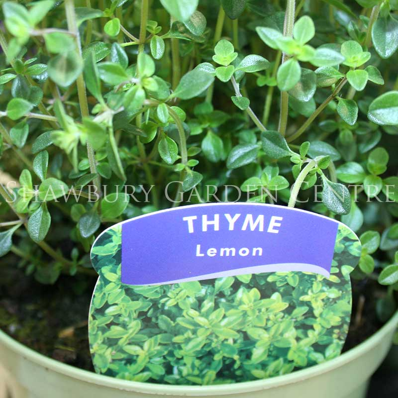 Picture of Thymus 'Lemon Thyme'
