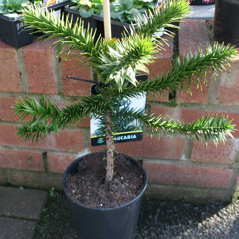 Picture of Araucaria araucana 'Monkey Puzzle Tree'