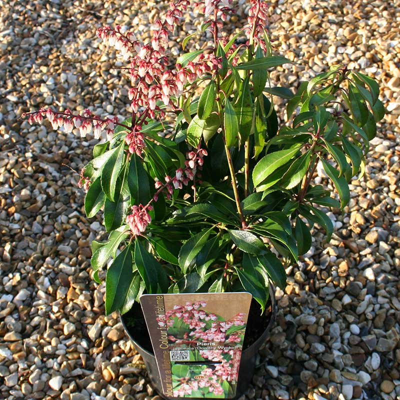 Picture of Pieris japonica 'Dorothy Wyckoff'