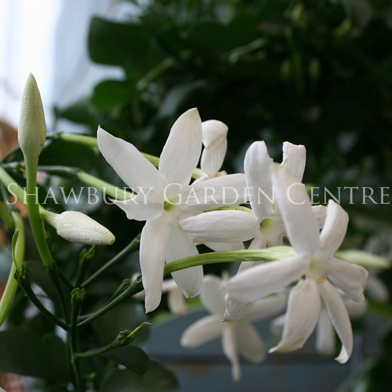 Picture of Jasminum polyanthum 'Many Flowered Jasmine'