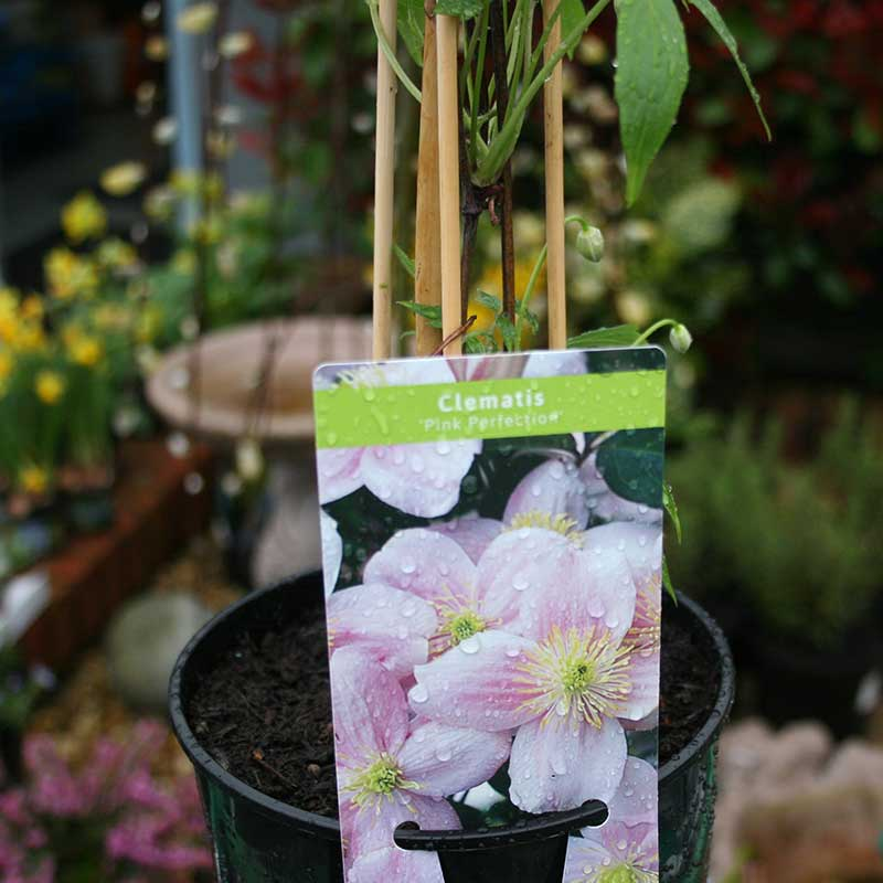Picture of Clematis montana 'Pink Perfection'