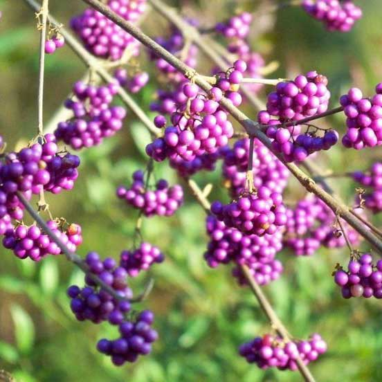 Picture of Callicarpa bodinieri 'Profusion' Beauty Berry