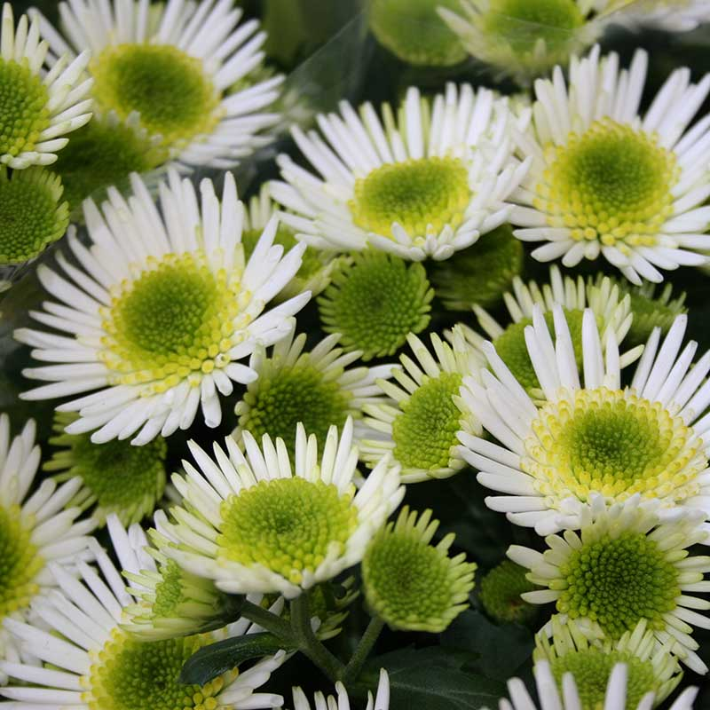 Picture of Chrysanthemum Splash