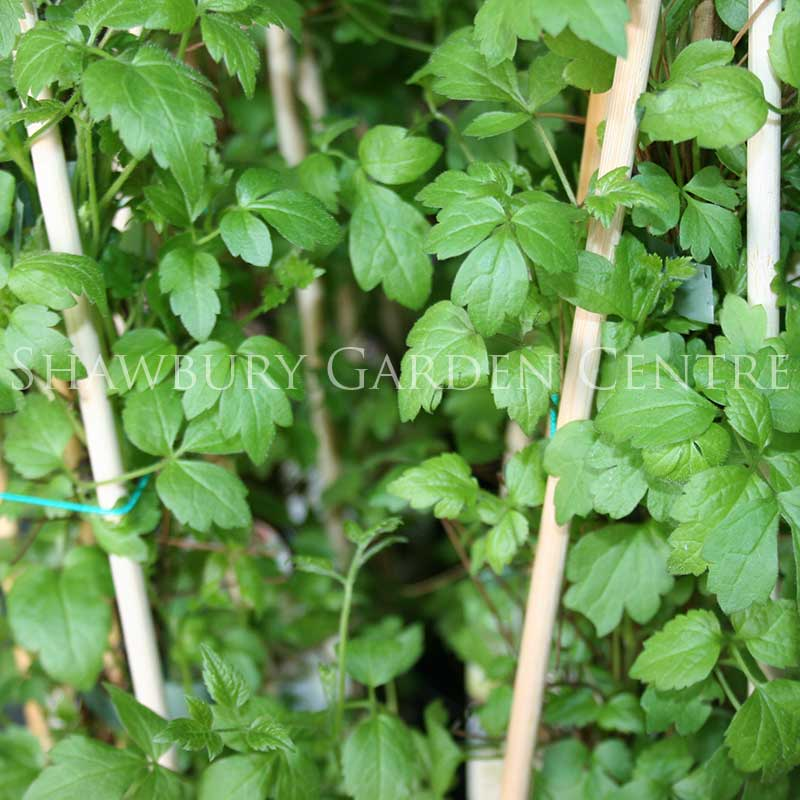 Picture of Clematis vitalba