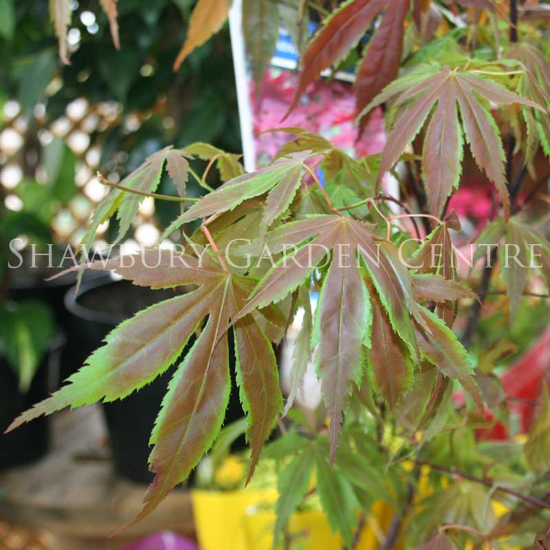 Picture of Acer palmatum 'Atropurpureum' Japanese Maple