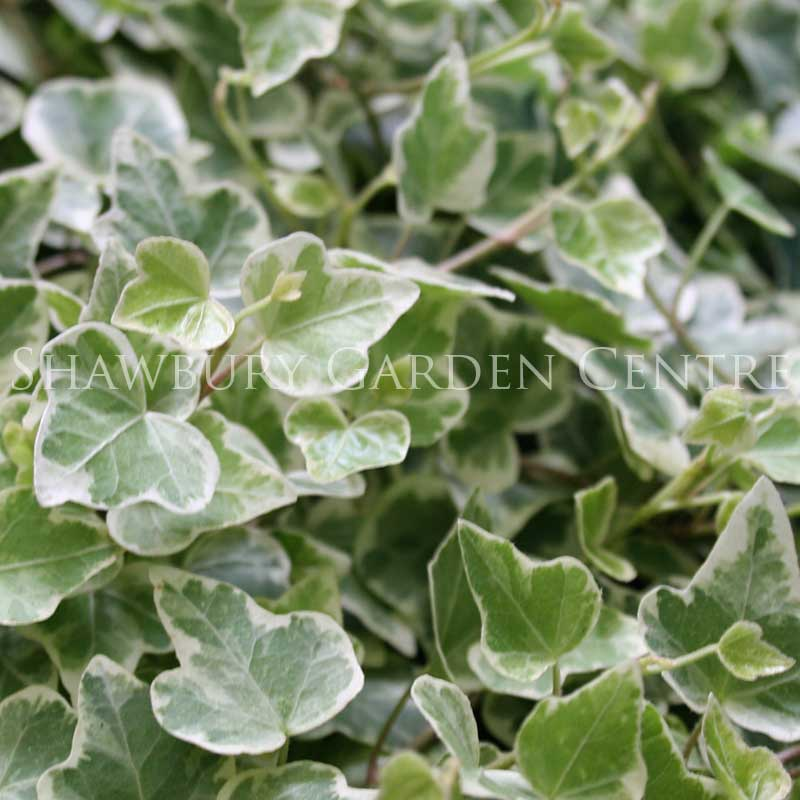 Picture of Hedera Ivy
