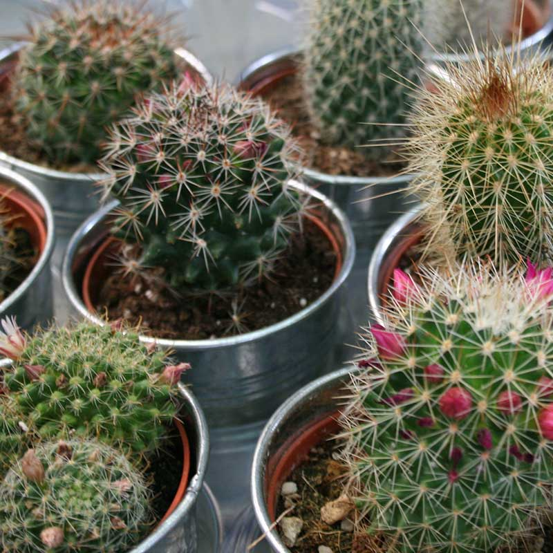 Picture of Cacti in Zinc Pot