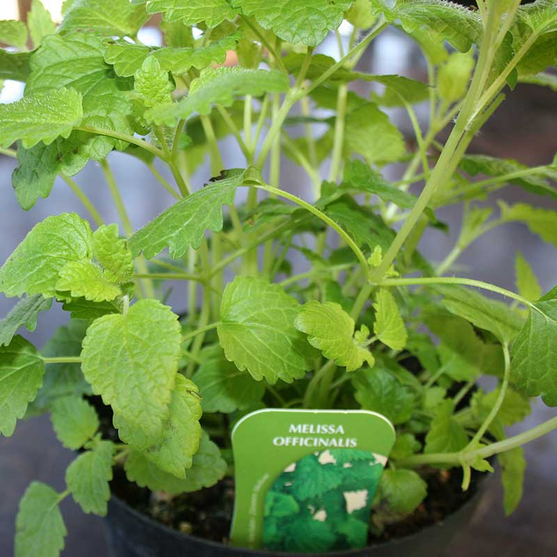 Picture of Lemon Balm - Melissa officinalis Herb