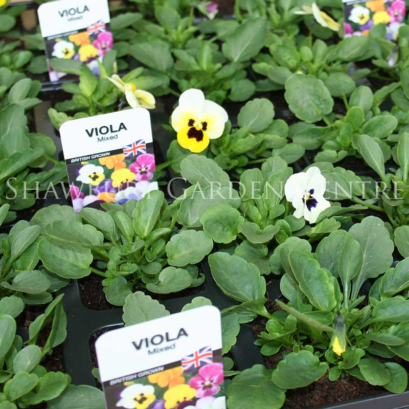 Picture of Viola Bedding Plants
