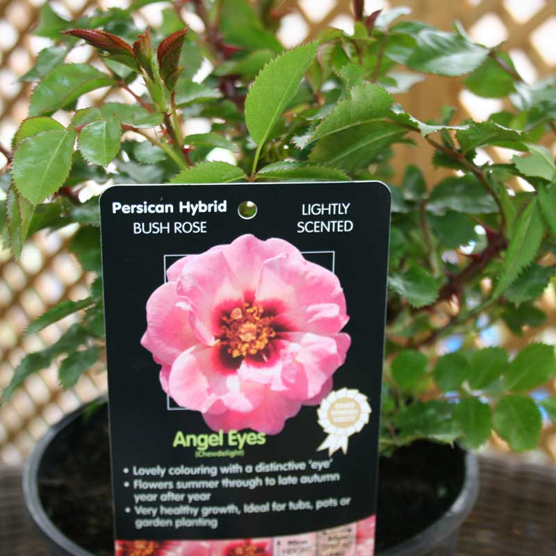 Picture of Angel Eyes Rose