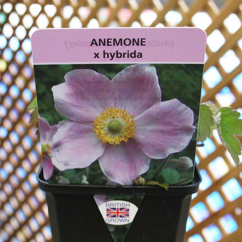 Picture of Anemone hupehensis (Japonica)