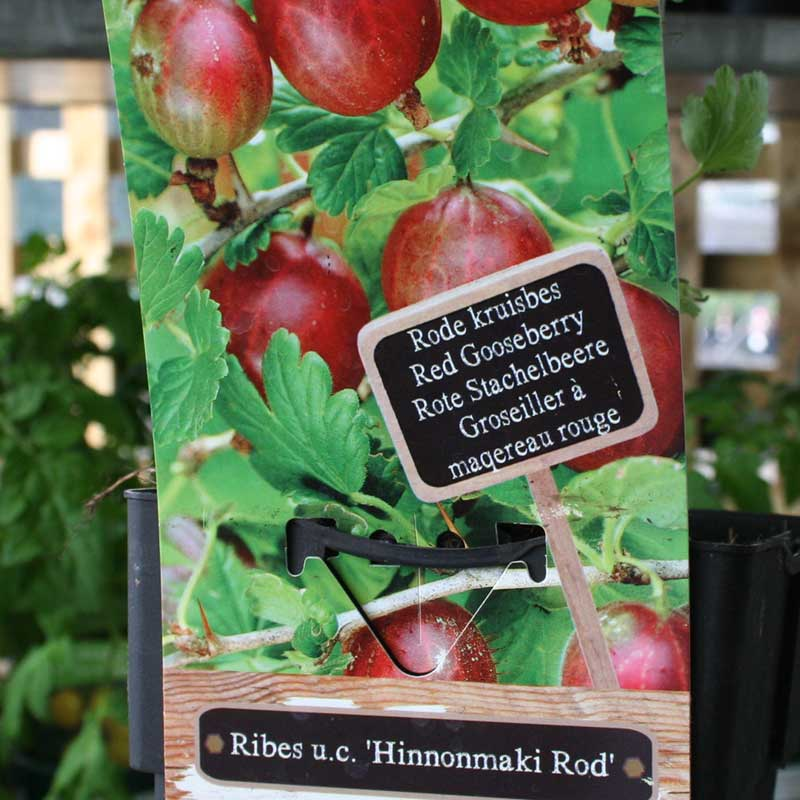 Picture of Ribes 'Hinnonmaki Rod' Red Gooseberry Plant
