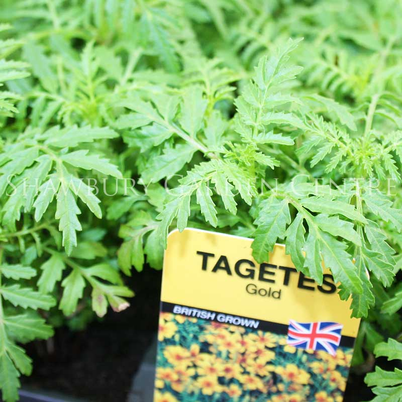 Picture of Tagetes Gold African Marigold