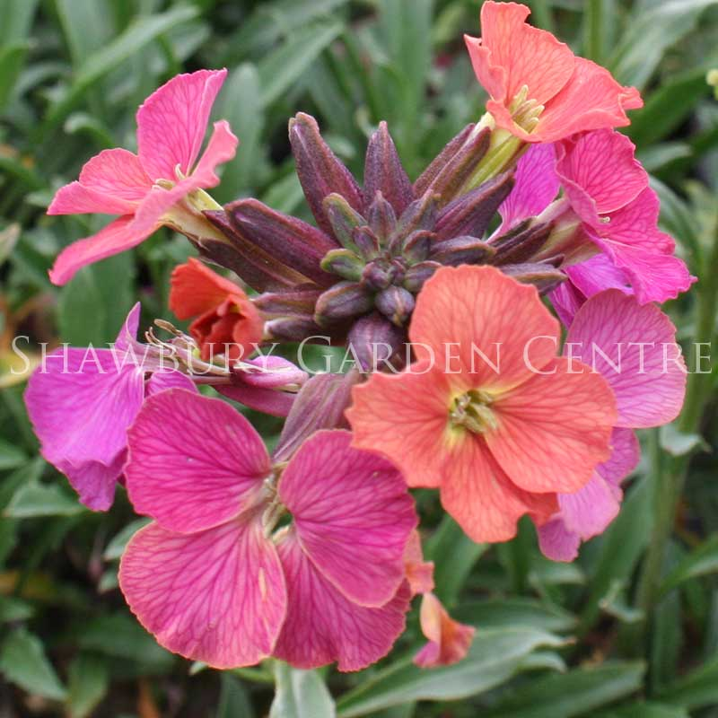 Picture of Erysimum 'Constant Cheer'