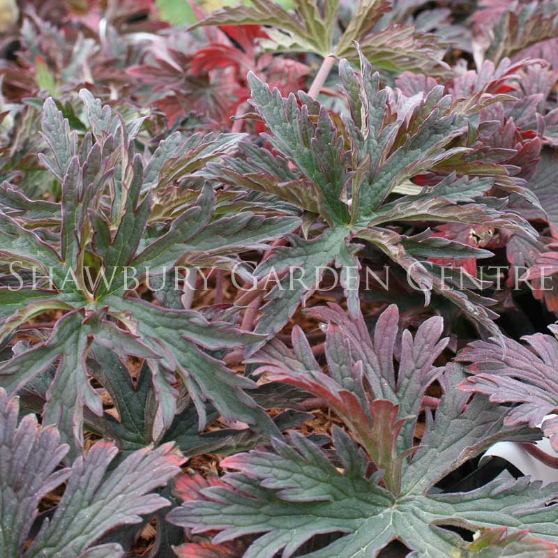 Picture of Geranium pratense 'Dark Purple'