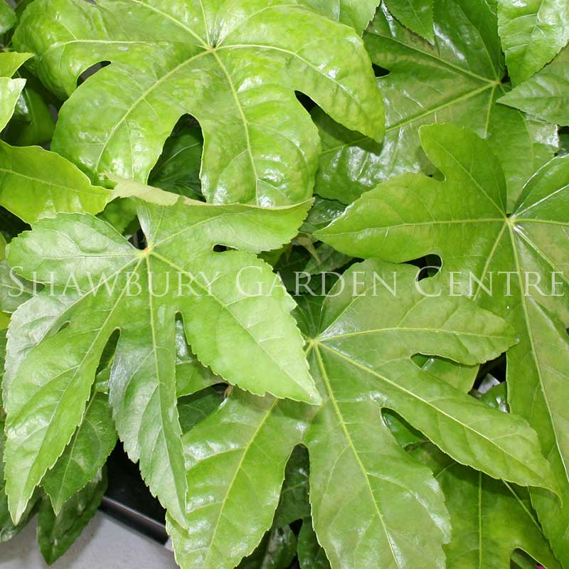 Picture of Fatsia japonica 'Japanese Aralia'