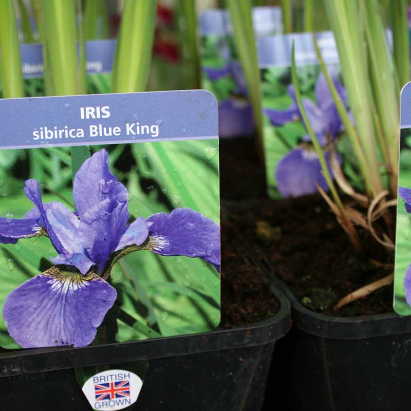 Picture of Iris siberica 'Blue King'