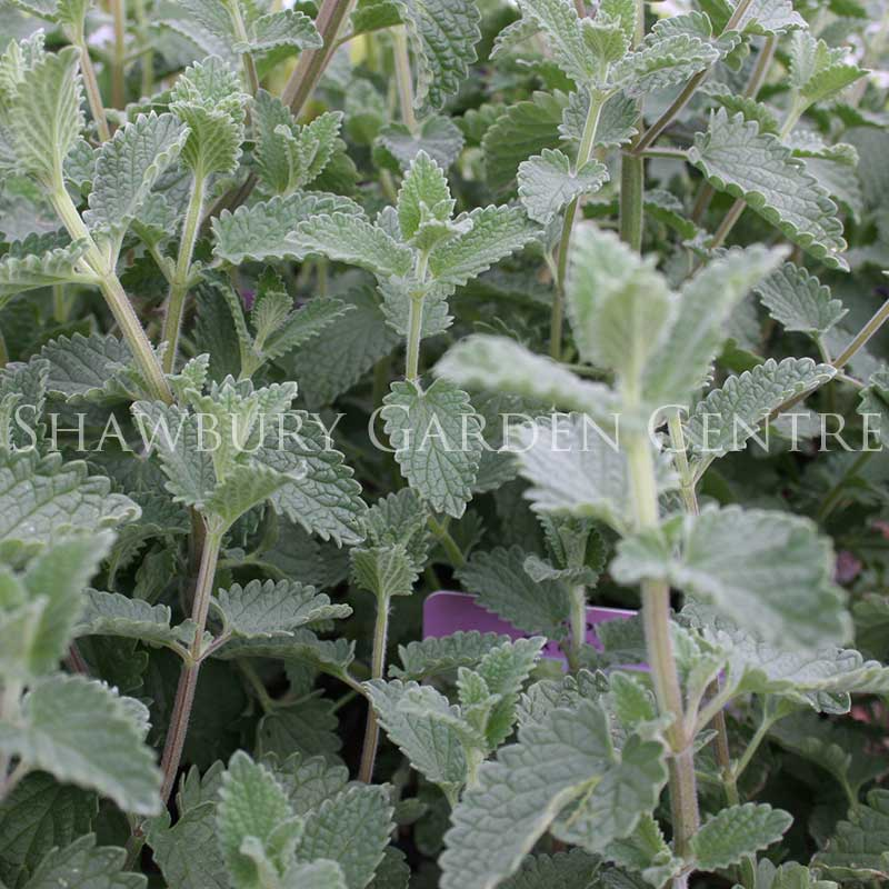 Picture of Nepeta 'Six Hills Giant'