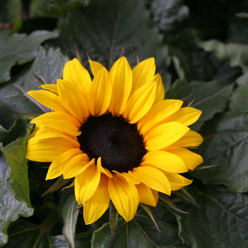 Picture of Sunflower - Helianthus F1 Sunsation