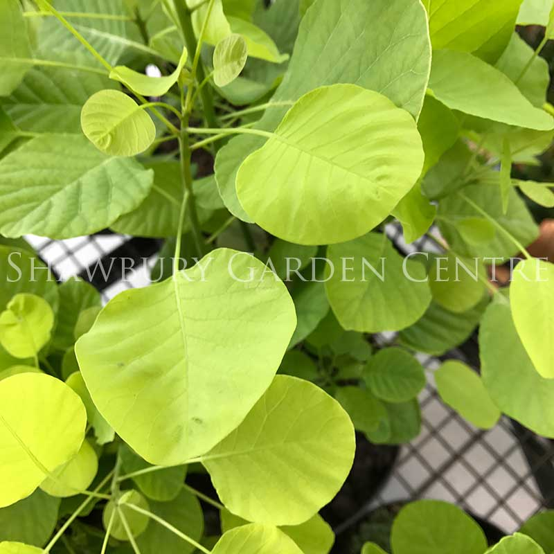 Picture of Cotinus coggygria 'Ancot'