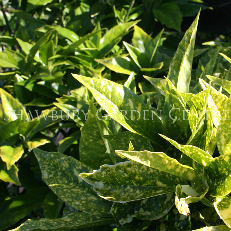 Picture of Aucuba japonica 'Variegata' Japanese Laurel