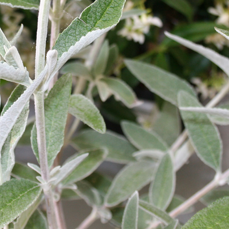 Picture of Buddleja 'Silver Anniversary'