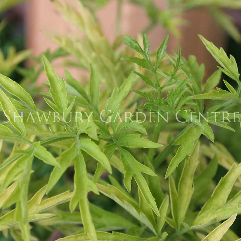Picture of Sambucus nigra 'Golden Tower'