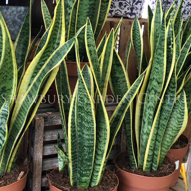 Picture of Sansevieria trifasiata laurentii 'Mother in Law's Tongue'