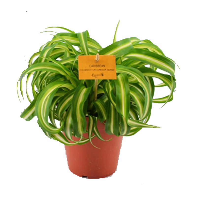 Picture of Chlorophytum comosum 'Bonnie' Curly Spider Plant