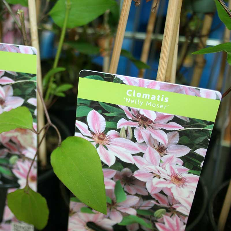 Picture of Clematis 'Nelly Moser'