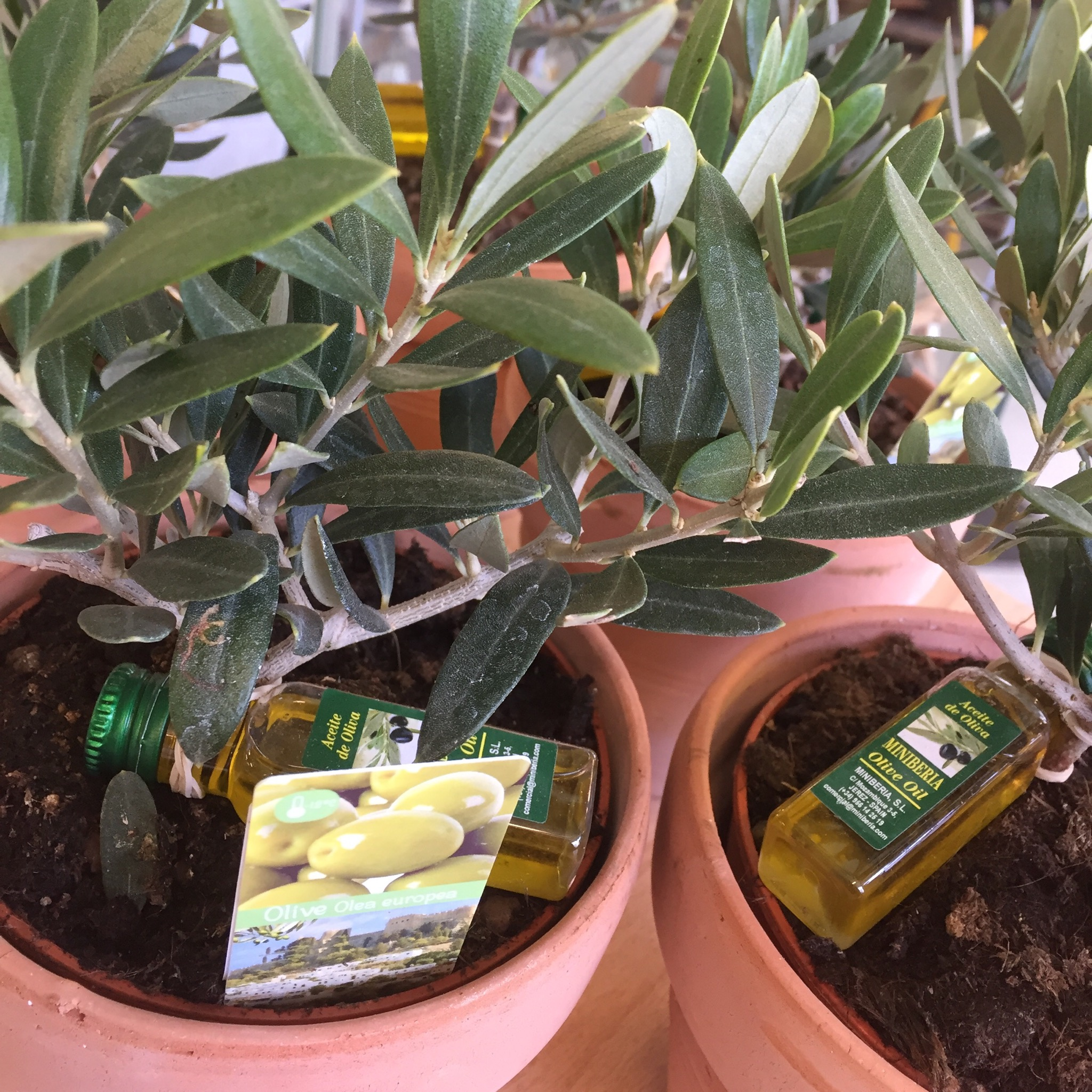 Picture of Olea Europea Mini Olive Tree in Terracotta Pot