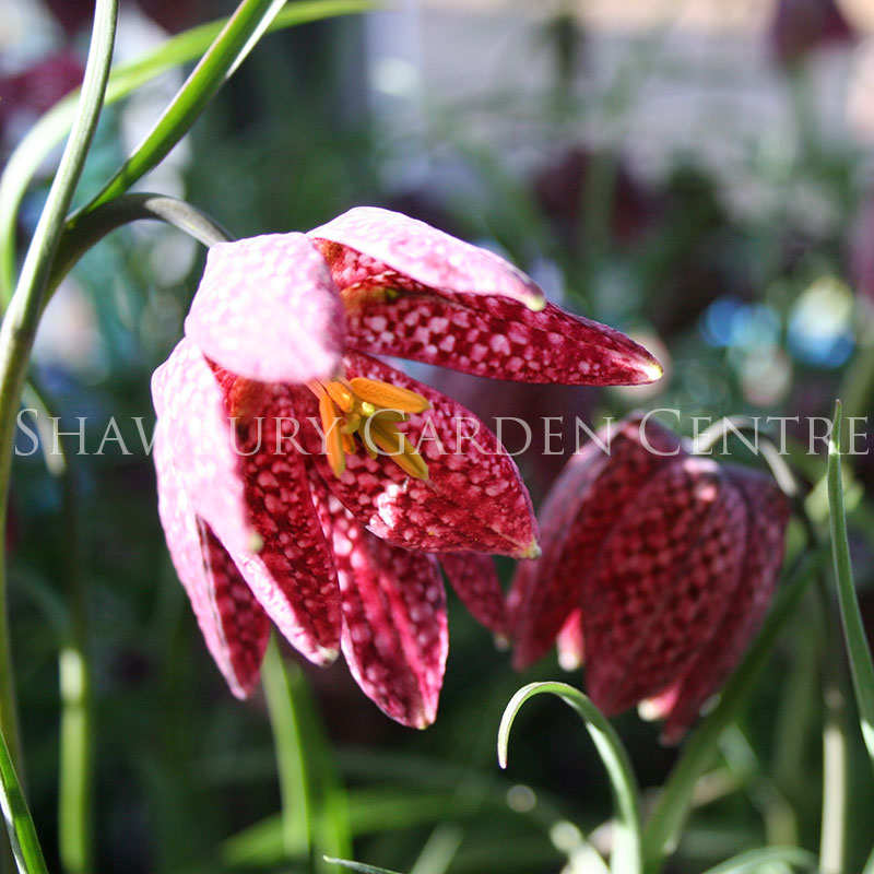 Picture of Fritillaria meleagris Snake Head Lily