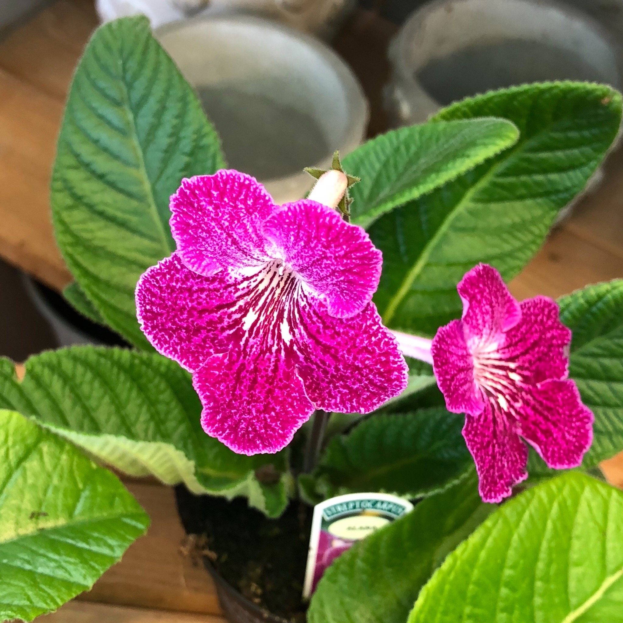 Picture of Dibley's Streptocarpus