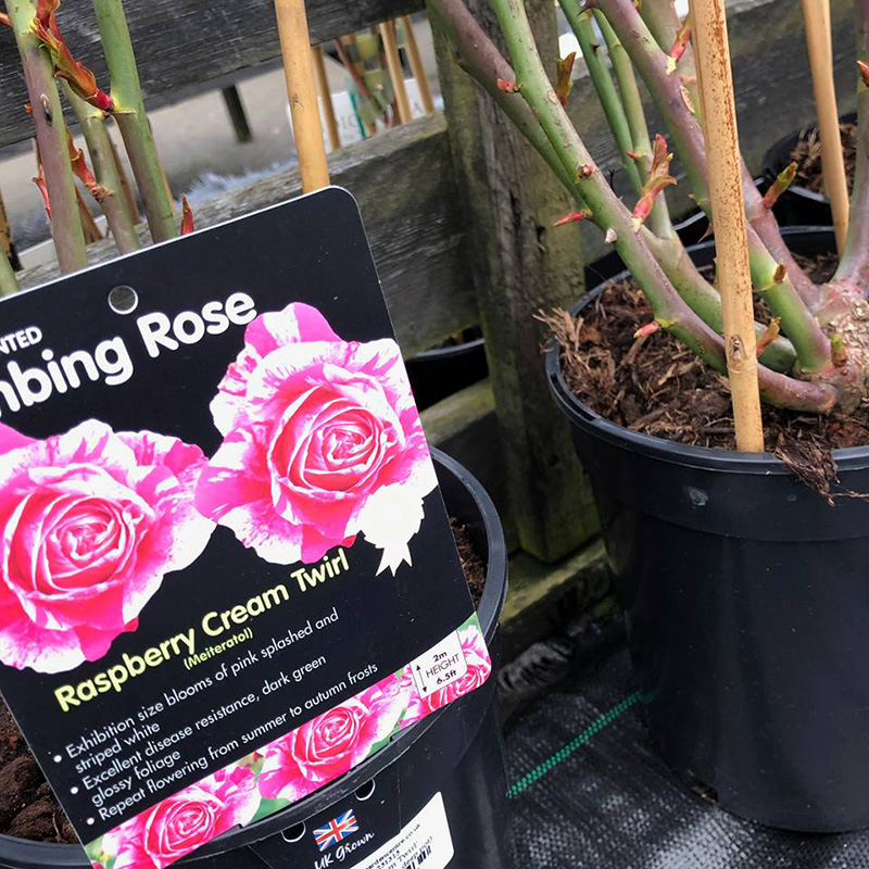 Picture of 'Raspberry Cream Twirl' Climbing Rose