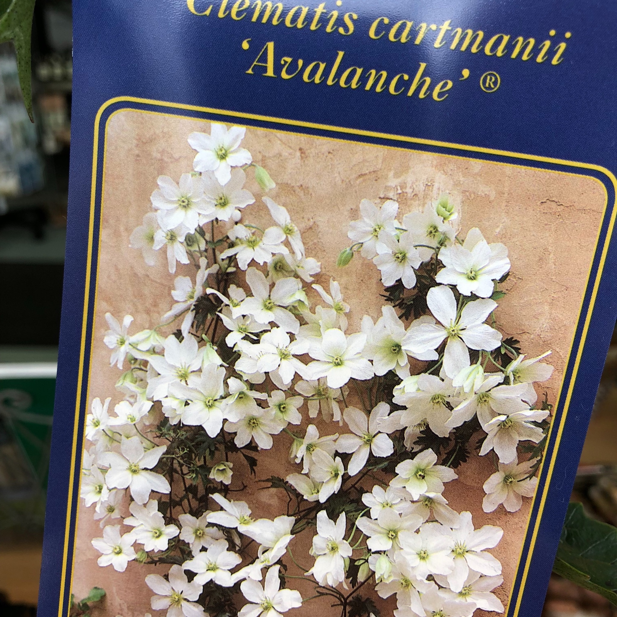 Picture of Clematis cartmanii 'Avalanche'