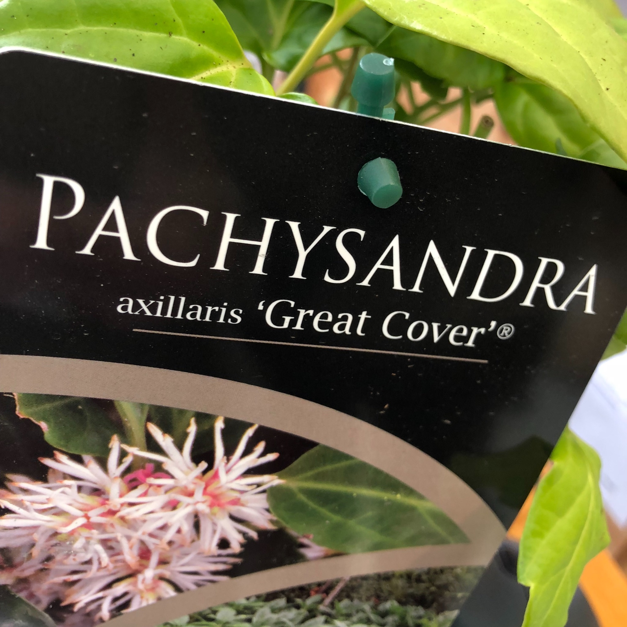 Picture of Pachysandra axillaris 'Great Cover'