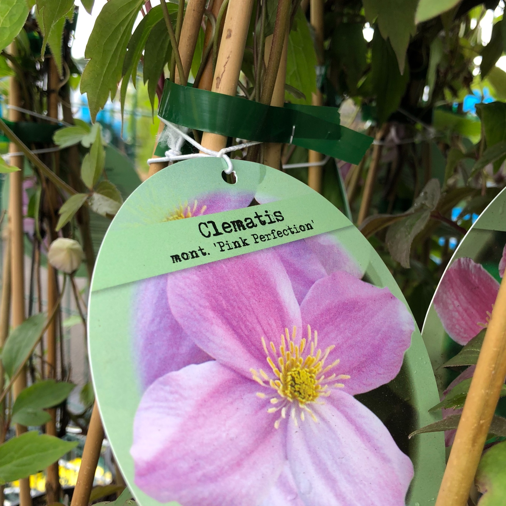 Picture of Clematis mont 'Pink Perfection'