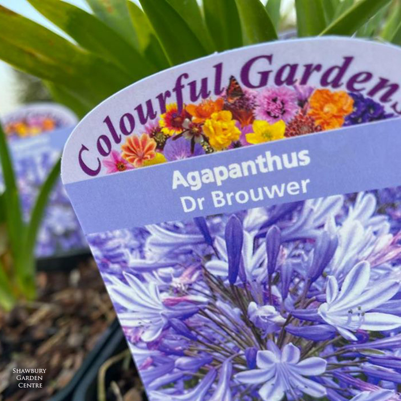 Picture of Agapanthus 'Dr Brouwer'