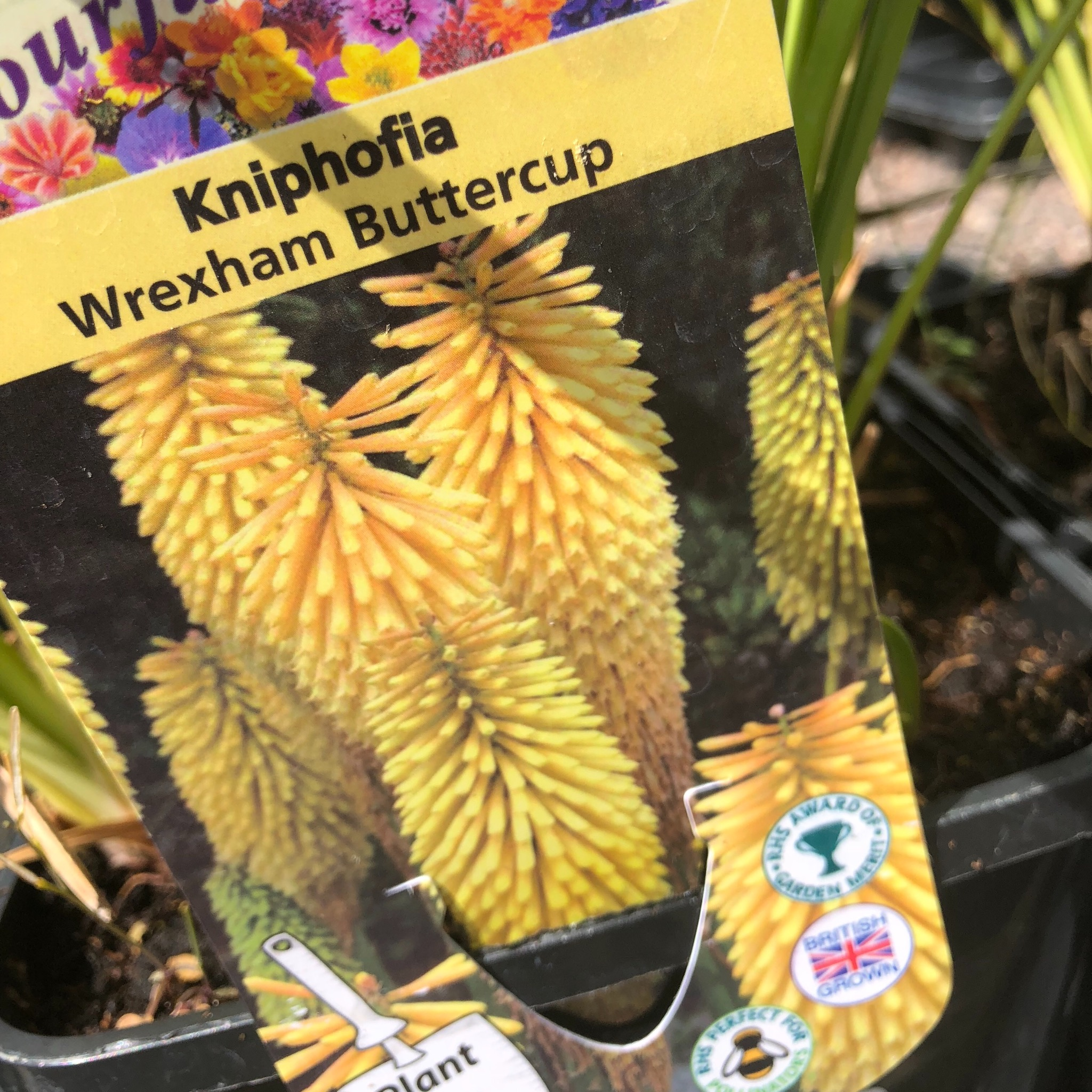 Picture of Kniphofia 'Wrexham Buttercup'