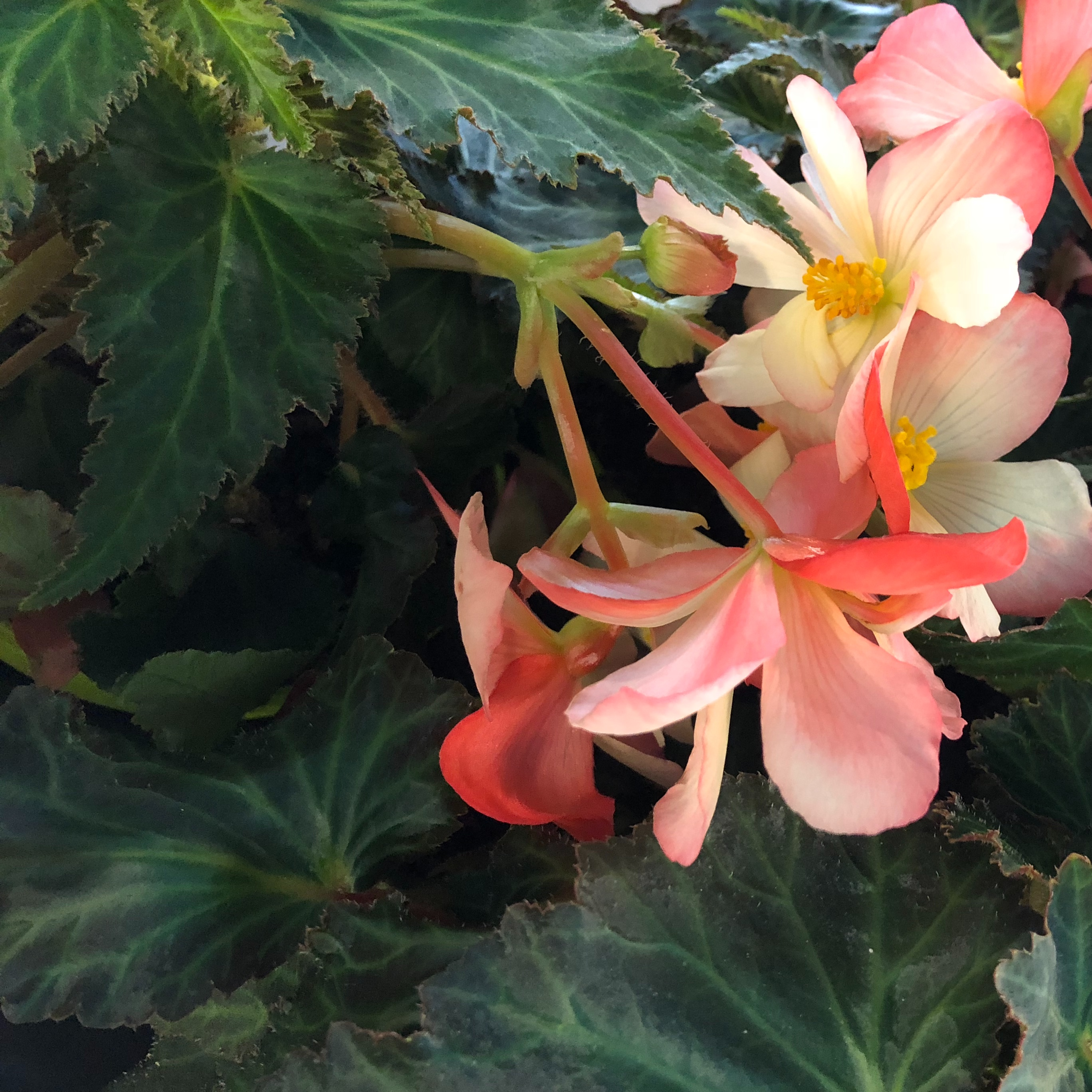Picture of Begonia Waterfall