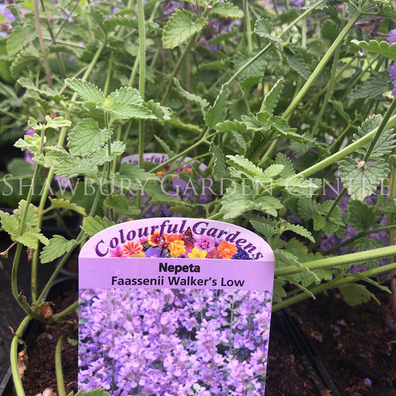 Picture of Nepeta faassenii 'Walker's Low'