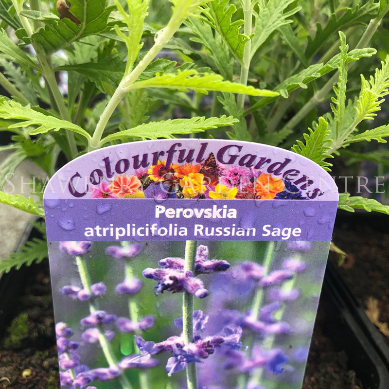 Picture of Perovskia atr. 'Russian Sage'