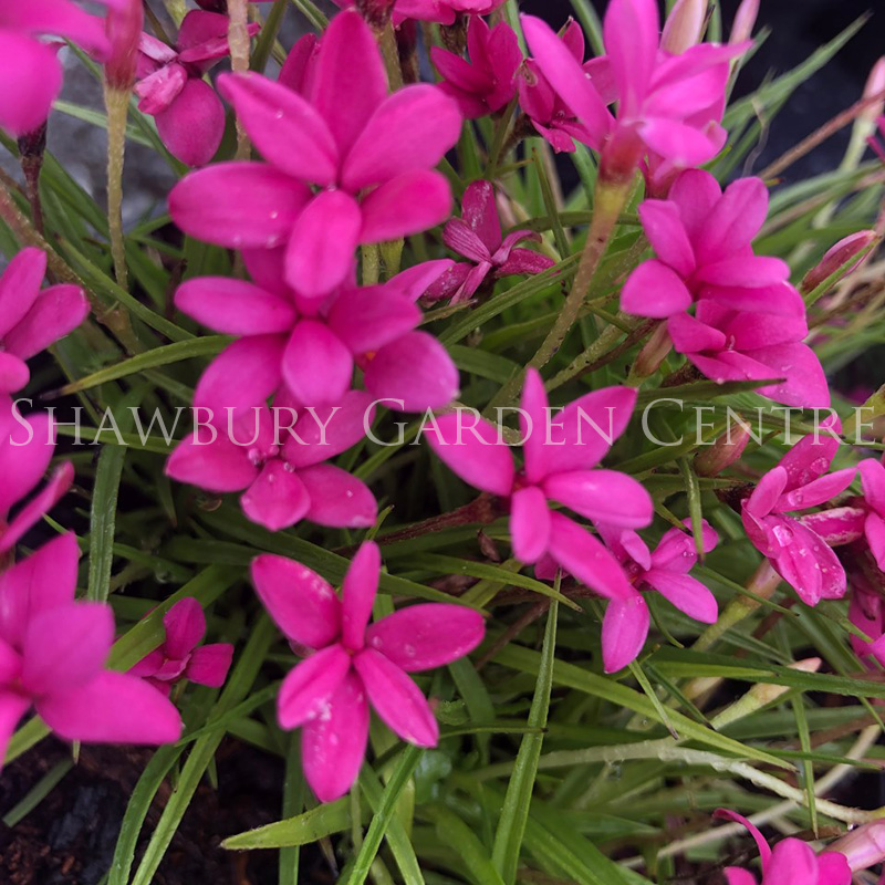 Picture of Rhodohypoxis 'Deflexa'